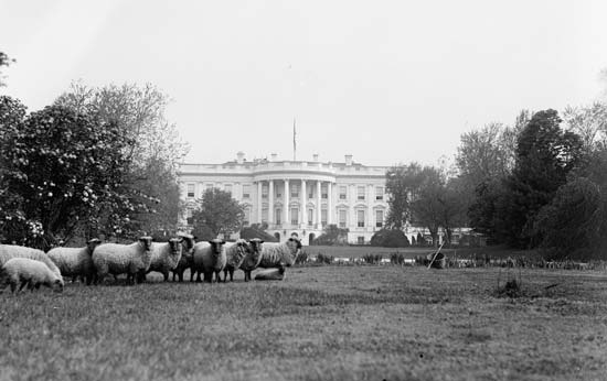 whitehouse sheep